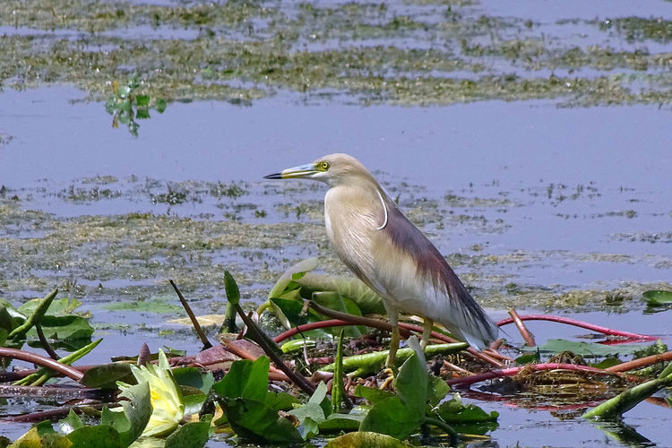 Birds of The Valley Animal Themes Animal Wildlife Animals In The Wild Beauty In Nature Bird Close-up Day EyeEmNewHere Gray Heron Heron Lake Nature No People One Animal Outdoors Perching Plant Rakeshtiwari Water