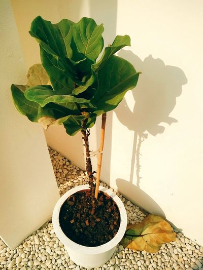 green light. EyeEm Selects Water Flower Leaf Close-up Plant Houseplant Flower Head Window Sill Potted Plant Blooming Succulent Plant Wilted Plant Flower Pot Bonsai Tree