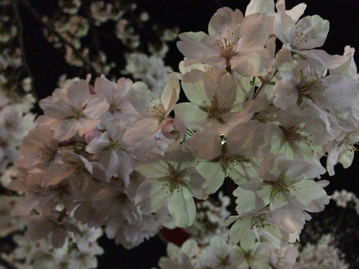 Kyoto Night Cherry Blossoms Sakura Kyoto Night Sakura Kyoto Sakura 2018 Kyoto Night Sakura Kyoto,japan Plant Flower Flowering Plant Beauty In Nature Growth Fragility Vulnerability  Blossom Freshness