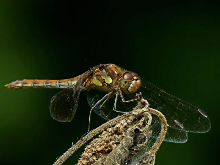 Close-up of dragonfly on dried plant