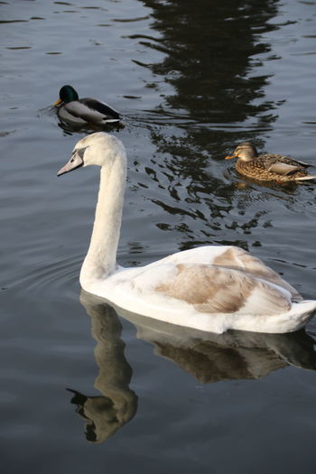 Animal Themes Bird Lake Animal Animal Wildlife Vertebrate Water Animals In The Wild Swimming Waterfront Reflection Water Bird Day Nature No People Duck Poultry Animal Family Cygnet Swan Surrey Countryside