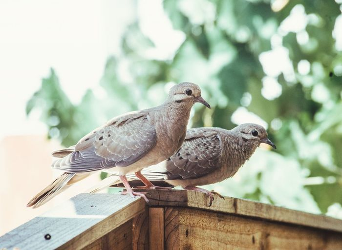 Animal Themes Animal Bird Vertebrate Animal Wildlife Animals In The Wild Perching Group Of Animals Focus On Foreground Two Animals Day No People Nature Sparrow Mourning Dove Close-up Railing Pigeon Wood - Material Beak