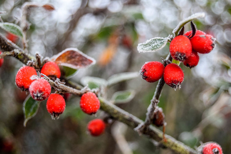 Beauty In Nature Berry Fruit Close-up Cold Temperature Day Focus On Foreground Freshness Frost Fruit Growth Nature No People Red Rowanberry Tree Winter Shades Of Winter