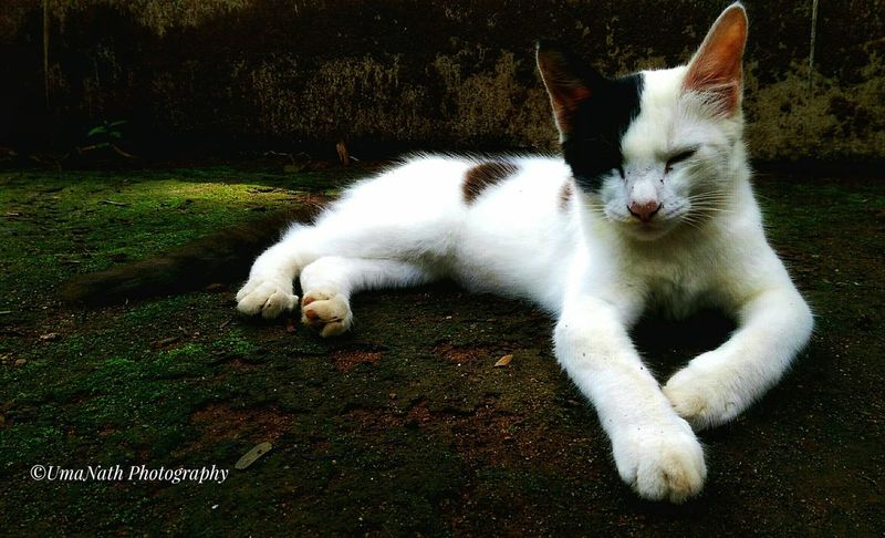 Pet Cat EyeEm Best Shots EyeEm Nature Lover EyeEm Cats Lover Cat Pet Pets Domestic Cat Feline Full Length Portrait White Color Close-up Grass Cat Adult Animal At Home Animal Face Pampered Pets Pet Bed Siamese Cat