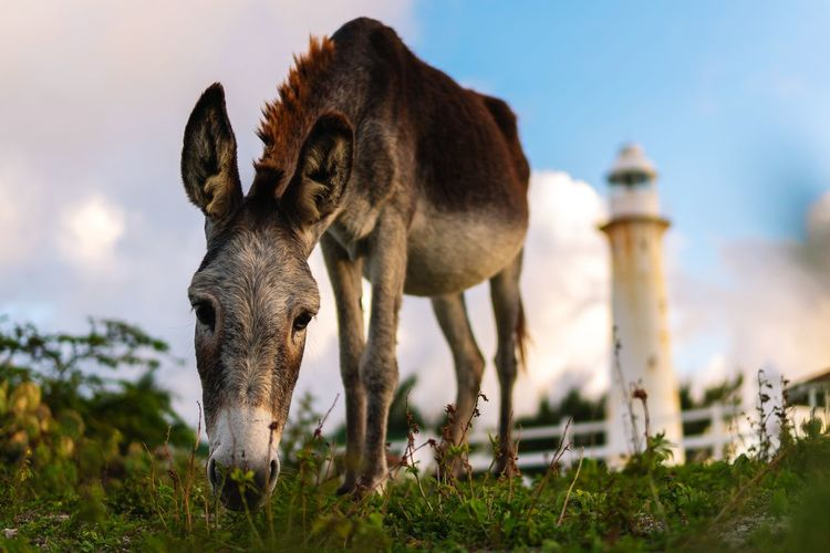 🐴Donkey filling up before nightfall🐎~ Donkey Lighthouse Enjoying Gods Creation Godscreation Turks And Caicos Grand Turk, Turks & Caicos SONY A7III Sigma Sky Close-up Grass Animal Themes Grazing Hoofed Mammal Herbivorous