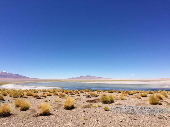 Grass On Field Against Clear Blue Sky At Atacama Desert