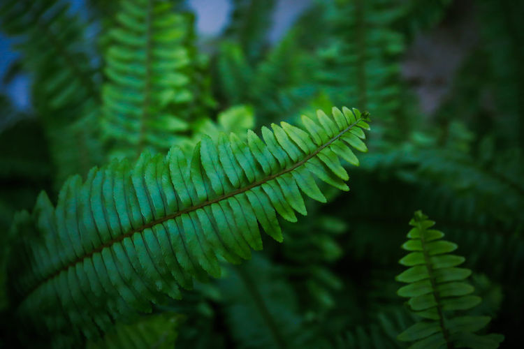 Fern, beautiful green fern leaves. fern bush. night, vintage style Green Color Growth Leaf Plant Part Plant Fern Close-up Nature Beauty In Nature No People Day Outdoors Green Fern Green Ferns Green Fern Plant Green Fern Leaves Fern Leaves Fern Leaf Fern Plant Fern Tree Fern Frond Nature Natural Green Nature Green Natural Fern Background Garden Branch Decorative Environment Flora Floral Pattern Greenery Green Growth Isolated Rustic Plant Tree Vintage Vintage Nature Focus On Foreground Natural Pattern Selective Focus Tranquility Forest Fragility Vulnerability  Leaves Coniferous Tree