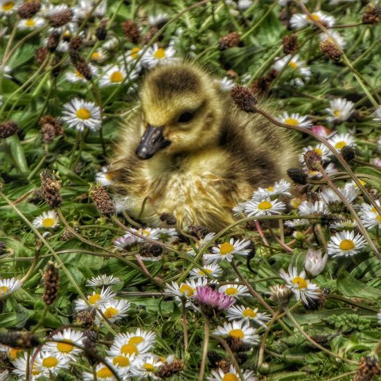 This Gosling's sitting in a field of daisy's on the side of Rochdale canal Manchester Gosling, Canada Goose, Resting, Park, Grass Gosling Birds Of EyeEm  Birds_collection Baby Birds The Great Outdoors – 2016 EyeEm Awards Eye For Photography Malephotographerofthemonth Hdr_Collection Fujifilm EyeEm Masterclass Wildlife EyeEm Close-ups Close-up Wildlife & Nature Nature On Your Doorstep EyeEm Best Shots - Nature EyeEm Best Shots Photography Getting Inspired Nature EyeEm Nature Lover Canadian Geese Hdr_Collection Natures Diversities Fine Art Photography