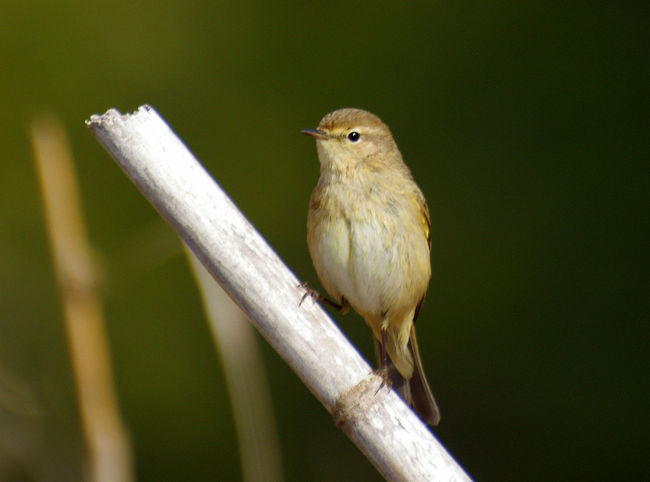 Animal Themes Animal Wildlife Animals In The Wild Bird Close-up Day Mosquitero Bird Nature No People One Animal Outdoors Perching
