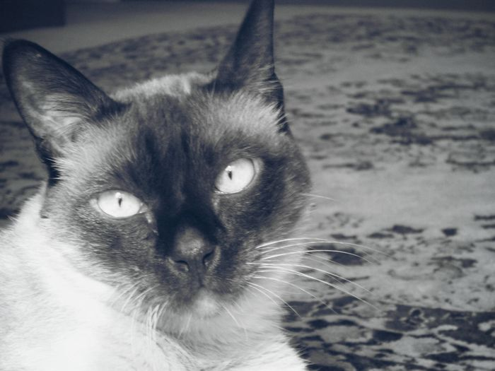 Animal Themes Balck And White Black Blackandwhite Cat Cateyes Close-up Domestic Animals Domestic Cat Feline Indoors  Looking At Camera One Animal Pets Portrait Whisker White