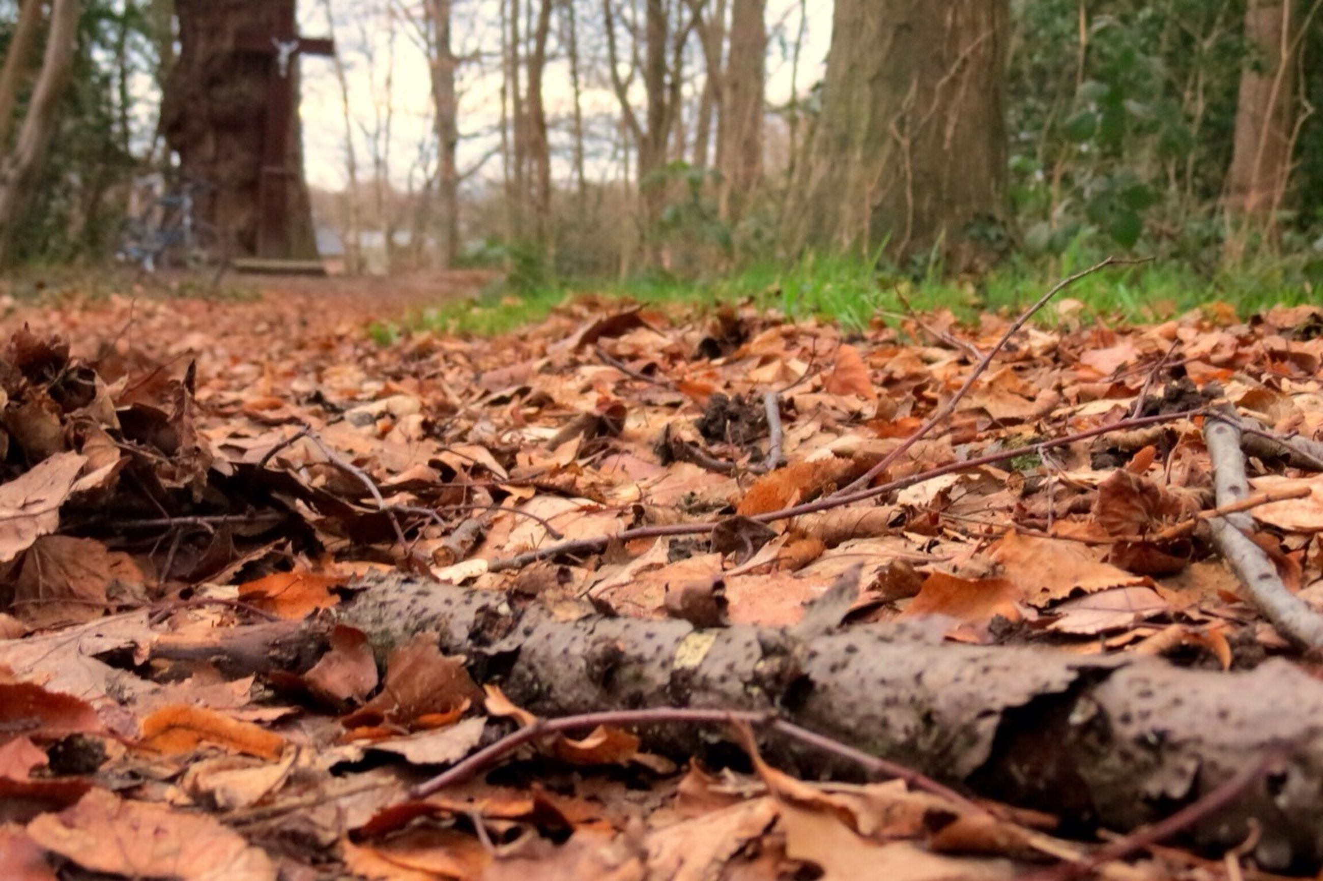 autumn, leaf, forest, dry, change, tree, fallen, tree trunk, leaves, nature, tranquility, season, woodland, falling, field, ground, day, surface level, selective focus, fallen leaf