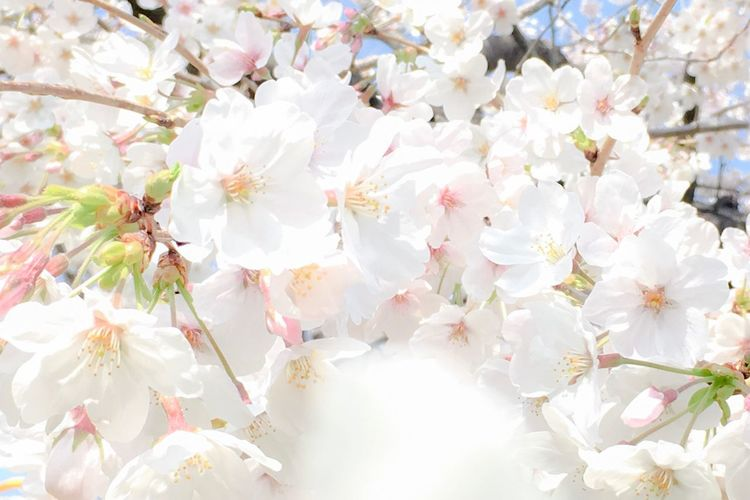 Cherry Blossoms Sakura Japan Springtime Flower Blossom Fragility Springtime Petal Full Frame White Color Nature Freshness Beauty In Nature Flower Head Growth No People Close-up Outdoors