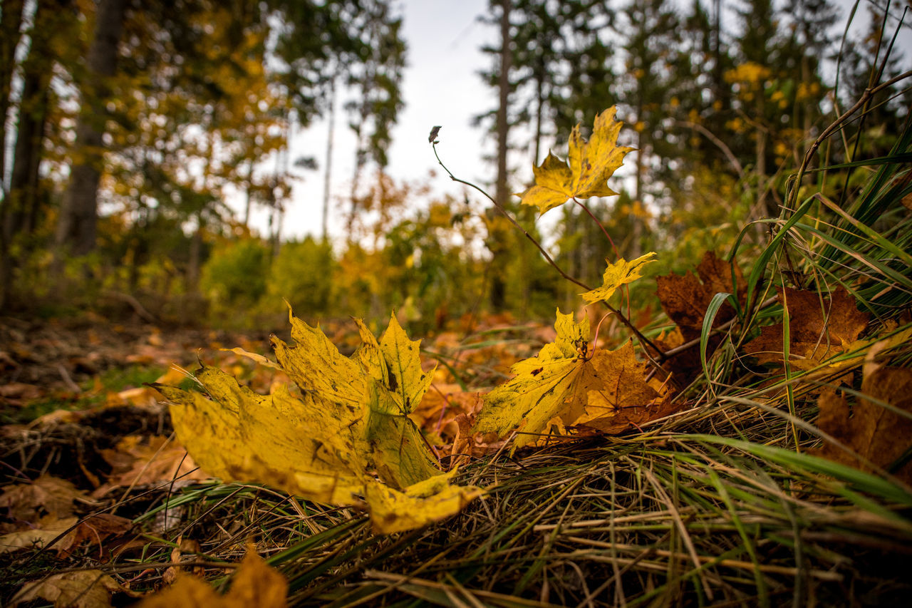 autumn, plant, tree, leaf, change, plant part, land, yellow, nature, forest, growth, beauty in nature, no people, day, dry, selective focus, leaves, tranquility, close-up, outdoors, maple leaf, surface level, autumn collection, natural condition