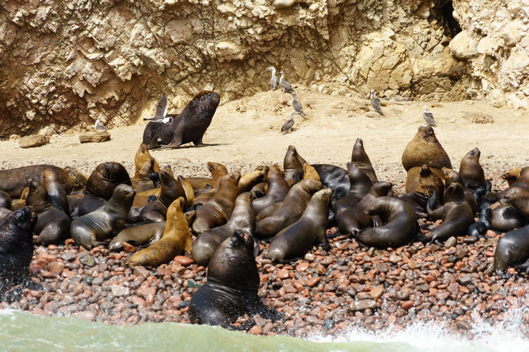 Colony of seal on shore at beach