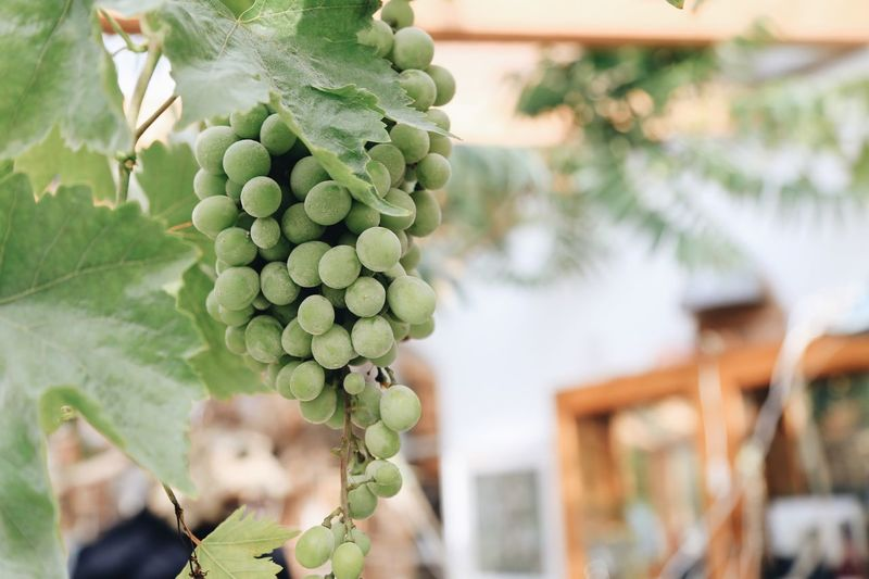Green grapes growing in vineyard