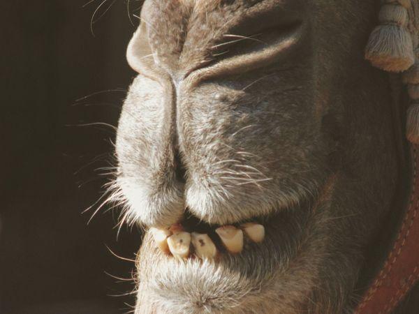 Medieval festival in Alhos Vedros - Portugal. Medieval Fair Pampered Pets Dromedary Camel Herbivorous Part Of Zoology Taking Photos Hoofed Mammal Animal Mammal Domestic Animals Close-up Furry Animals Animal Themes Animal Head  Animal Photography Medieval Market EyeEm Gallery Medieval Festival EyeEm Best Shots Teeth Animal Teeth Dentist Uniqueness