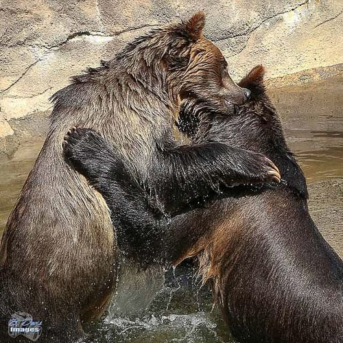 Playful Grizzly bears Grizzlybear Bear Playtime Wrestling Wildlife Nature Bd_animal Tag_animal_ Clevelandzoo