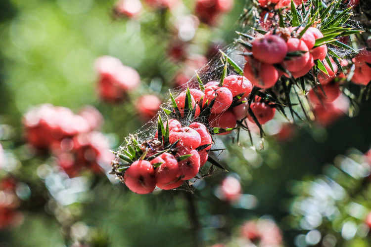 Close-up of red berries growing on tree