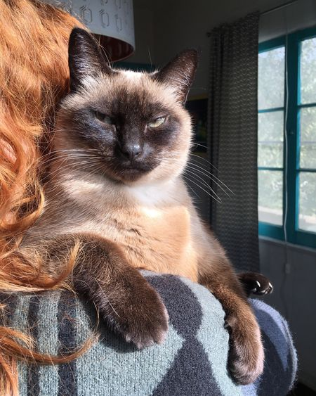 Carrying Baby Morning Morning Light Window Squinting Squint Surf Life Surfer Hoodie Sunbathing Long Hair Redhead EyeEm Selects Domestic Cat Pets Domestic Animals Feline One Animal Animal Themes Siamese Cat Indoors  Relaxation Looking At Camera Cute Whisker Day Mammal Portrait Close-up