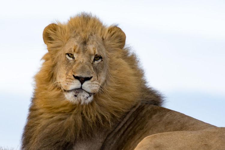 Löwe im Kariega