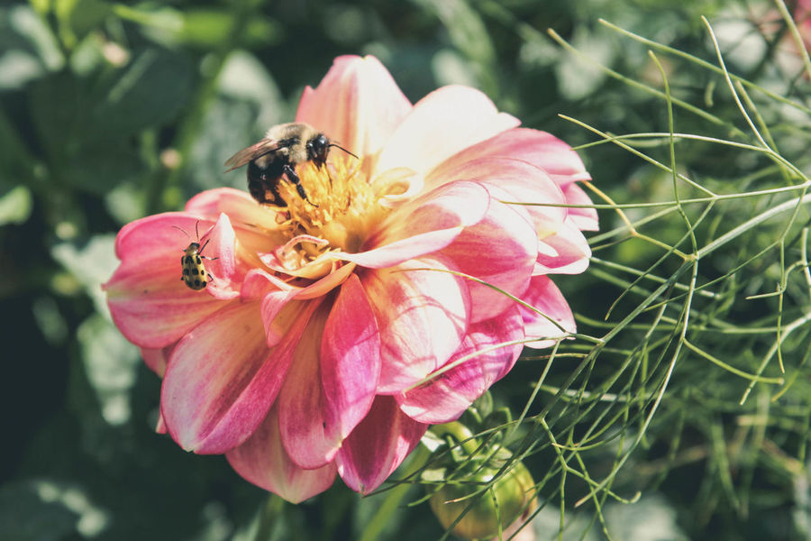 A bee and a beetle share some petals. Animal Themes Animal Wildlife Animals In The Wild Beautiful World Beauty In Nature Bee Beetle Blooming Bugs Day Flower Flower Head Focus On Foreground Fragility Freshness Growth Insect Insects  Nature No People One Animal Outdoors Petal Pink Color Plant
