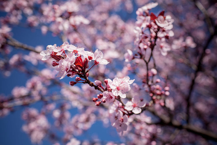 Cheery blossom in pink color Apple Blossom Beauty In Nature Blossom Botany Branch Cherry Blossom Cherry Tree Day Flower Fragility Freshness Growth Nature No People Orchard Petal Pink Color Plum Blossom Springtime Tree Twig