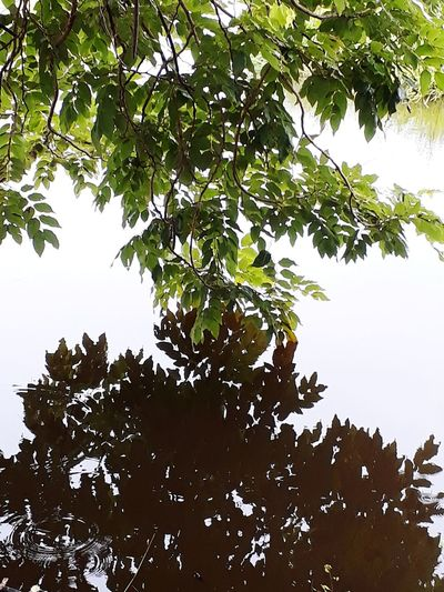 Reflection of branches and leaves on the water surface. Shadow Shadows & Lights Shadows & Lights Tree Water Branch Leaf Backgrounds Full Frame Social Issues Sky Close-up Green Color Tree Trunk Lake Woods Swan Bark