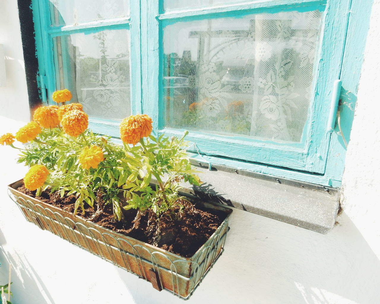 High Angle View Of Orange Flowers Growing In Pot By Window