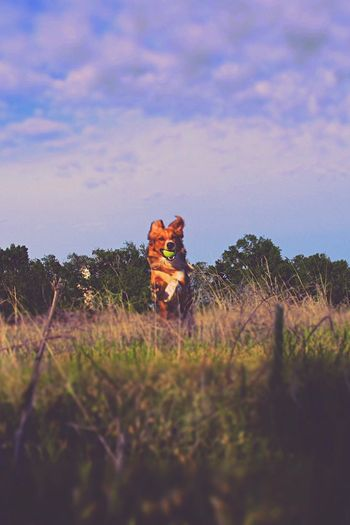 Pixie would fetch all day if she could!❤ Sky Nature Domestic Animals Field Mammal Cloud - Sky No People Outdoors Animal Themes Grass Beauty In Nature Day Dogs Of EyeEm Fetch Outdoor Dog Sunset Adventure Buddies Running Flying Pets EyeEm Best Shots