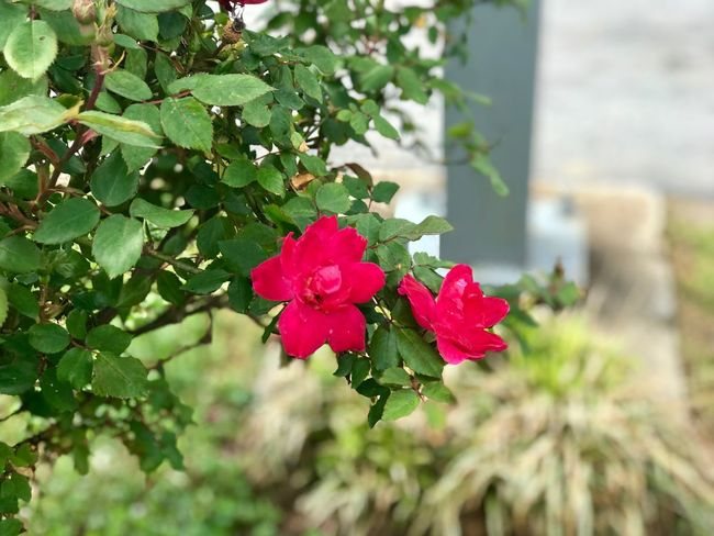 Plant Flowering Plant Flower Growth Beauty In Nature Vulnerability  Freshness Focus On Foreground Fragility Plant Part Inflorescence Flower Head Green Color Leaf Nature Day Close-up No People Red Petal
