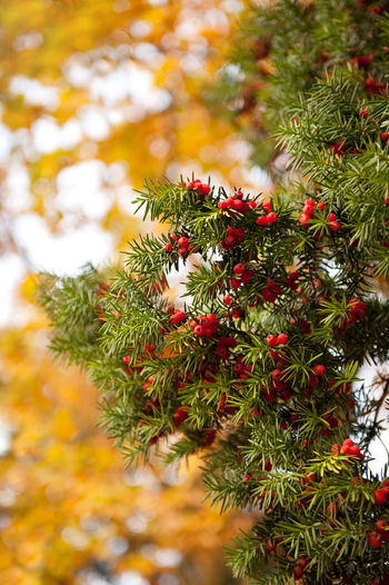 Taxus baccata or Yew red fruits on twig in autumn season in Poland, coniferous poisonous evergreen tree or large shrub detail in vertical orientation on yellow blurred background, nobody. Acerose Autumn Berries Close-up Coniferous Evergreen Foliage Fruit Fruits Nature No People Plant Poisonous Red Shrub Shrubbery Taxus Taxus Baccata Tree Twig Yew Yew Tree