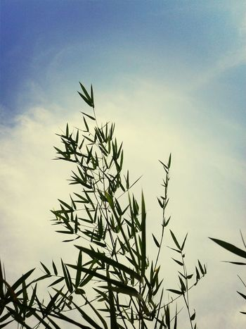 Bamboo Leaf Compositions Sky_collection Nature