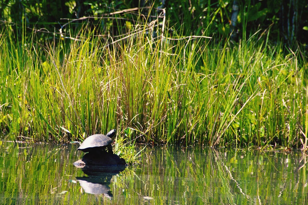 water, plant, lake, grass, green color, animal themes, animal, bird, growth, one animal, vertebrate, day, nature, reflection, animal wildlife, no people, animals in the wild, beauty in nature, waterfront, outdoors