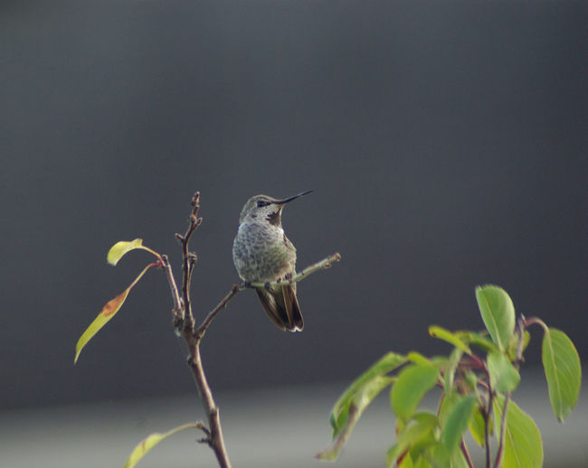 Rufus Hummingbird Animal Animal Themes Animal Wildlife Animals In The Wild Beauty In Nature Bird Close-up Day Focus On Foreground Growth Hummingbird Hummingbirdphotography Leaf Nature No People One Animal Outdoors Perching Plant Plant Part Still Life Vertebrate