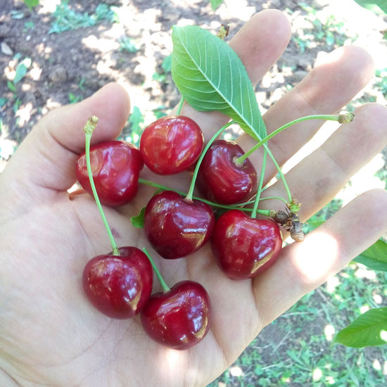 Big fresh ripe organic cherries on a palm of a hand after picking. Harvest of summer berries. Gardening, agriculture, harvest concept. Cherry Diet EyeEm Nature Lover EyeEmNewHere Summertime Berry Fruit Bunch Delicious Food Food And Drink Fresh Freshness Fruit Harvest Healthy Eating Healthy Food Human Hand Nature Organic Organic Food Raw Food Red Ripe Ripe Fruit Sweet Food