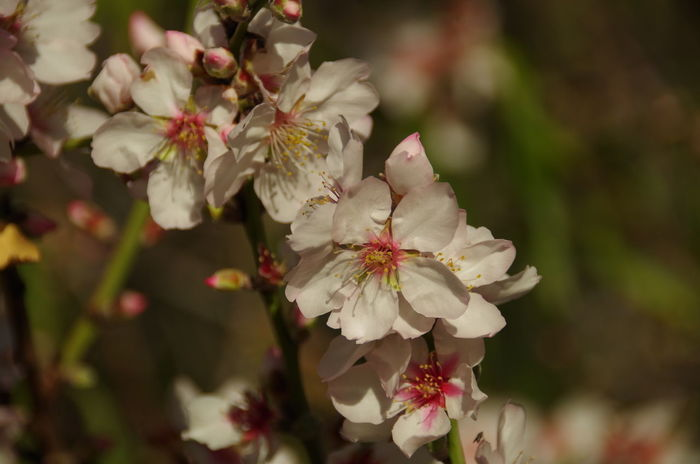 A branch with almond flowers Almond Almond Tree In Blossom Blossom Branch Close-up Flower Nature Springtime Twig