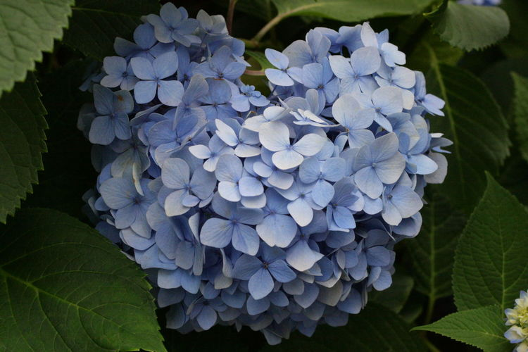 Ajisai Ajisai Matsuri Beauty In Nature Blooming Close-up Day Flower Flower Head Fragility Freshness Growth Heart Shape Hydrangea Hydrangea Japan Leaf Nature No People Outdoors Petal Plant Rainy Landscape Rainy Season Tender Moments