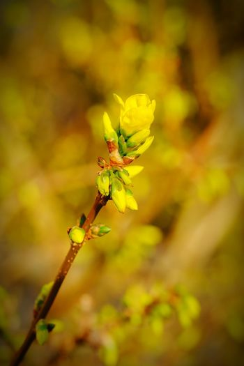 Blooming Forsythia Forsythia Forsythia Blooms Details Of Nature Flowers Street Insect Close-up Animal Themes In Bloom Plant Life Pollen Botany Iris - Plant Petal Blossom Flower Head Blooming Bud