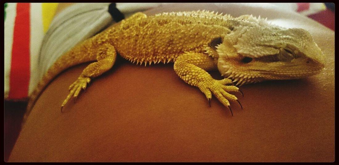 Tetzuo Sleeper Lizards