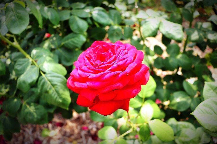 茨木市若園薔薇園🌹 若園公園 薔薇園 薔薇 花 赤