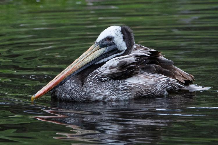 Close-up of stork swimming in lake