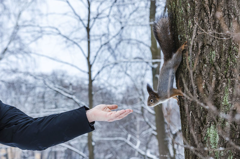 Curious squirrel sits on tree and eats nuts from hand in winter snowy park. winter color of animal.
