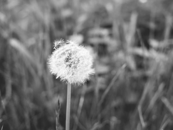 First Eyeem Photo Löwenzahn Blackandwhite Dantelion