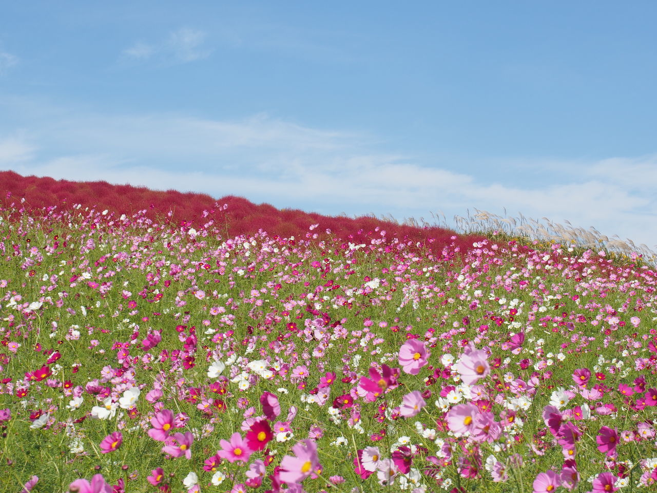 Pink Flowering Plants Growing On Field Against Sky