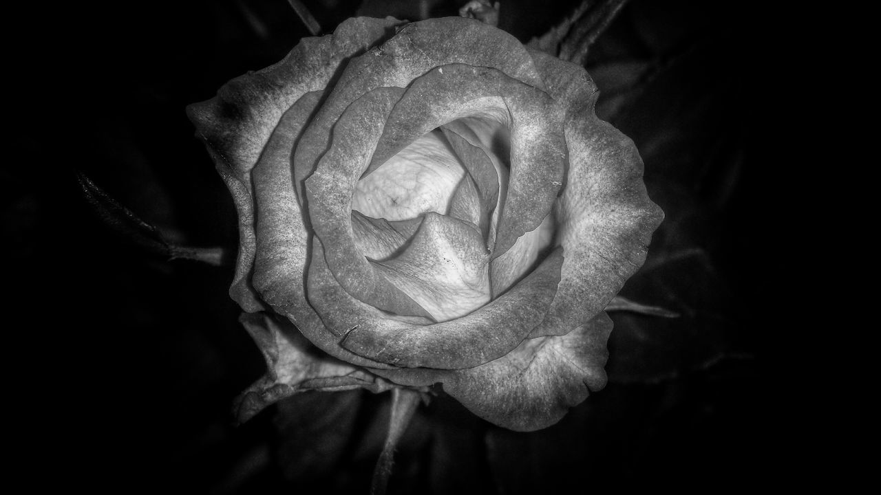 flower, petal, fragility, flower head, rose - flower, beauty in nature, nature, close-up, growth, freshness, no people, plant, night, blooming, outdoors