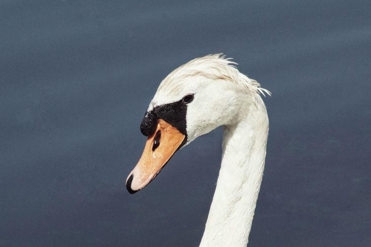 Im a punkrocker yes i am! Swan Niklas Storm Juni 2018 Bird Swan Close-up Sea Bird Swimming Animal Water Bird Mute Swan My Best Photo
