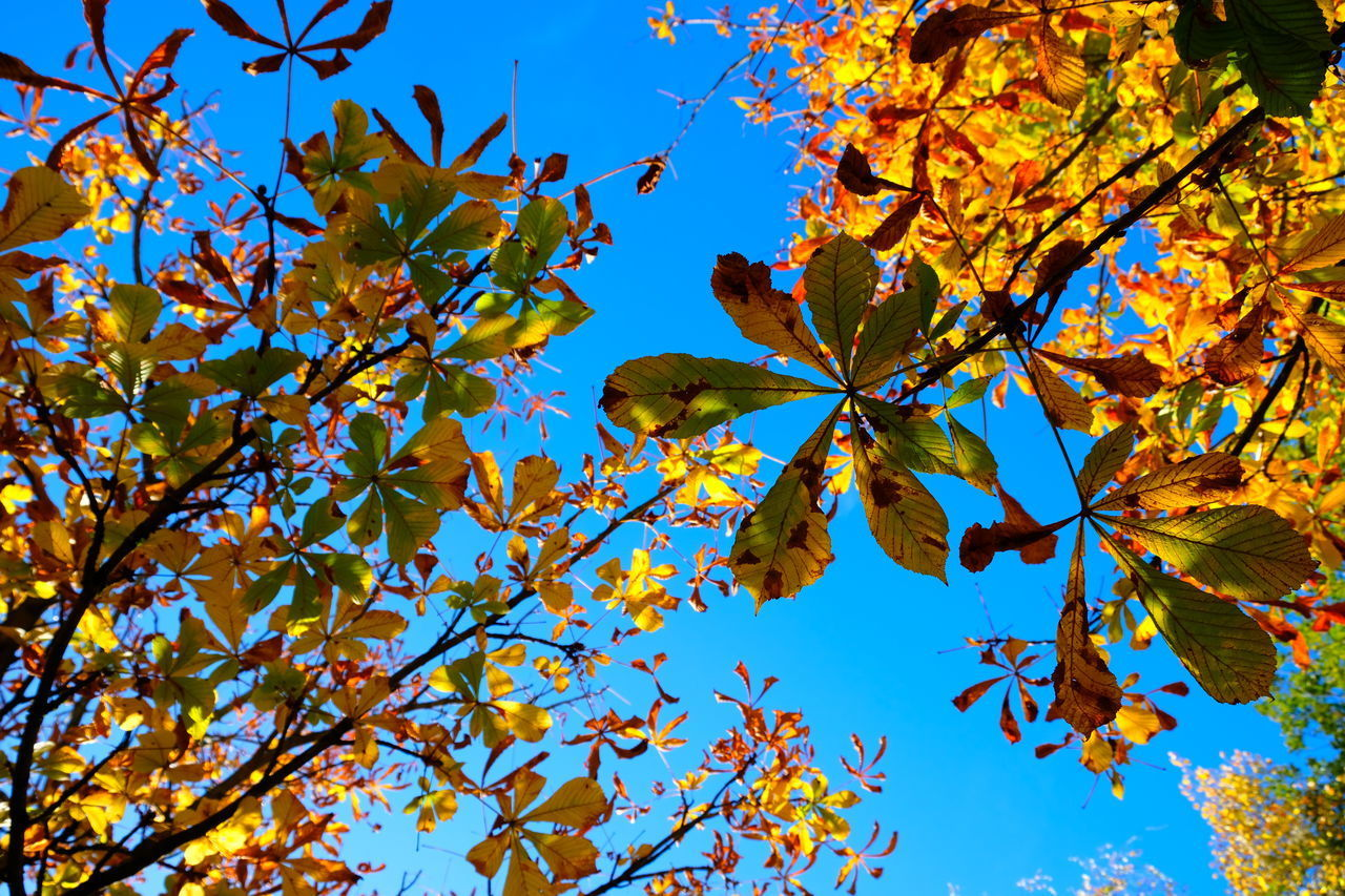 autumn, leaf, plant part, plant, low angle view, tree, sky, branch, beauty in nature, change, growth, blue, nature, day, no people, outdoors, tranquility, leaves, maple leaf, orange color, natural condition