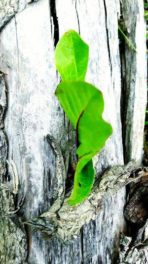 Wood Wood Leaf