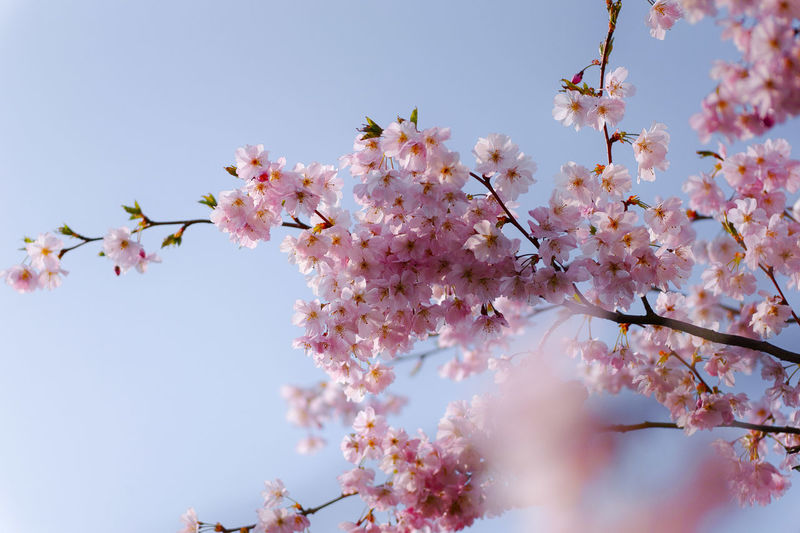 Flower Flowering Plant Fragility Plant Vulnerability  Freshness Growth Beauty In Nature Blossom Branch Tree Pink Color Springtime Low Angle View Cherry Blossom Nature Day Sky Cherry Tree Close-up No People Outdoors Flower Head Bunch Of Flowers Spring