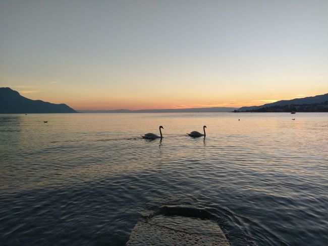 Sunset Swans Lac Léman Montreux Lake View AtPeace Mountains Swimming EyeEm Nature Lover Beauty In Nature